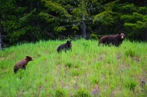 bears_153480112